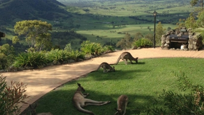 Kangaroos on grass at Rocky Mountain Lodge