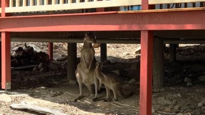 Kangaroos under the deck at Silkwood