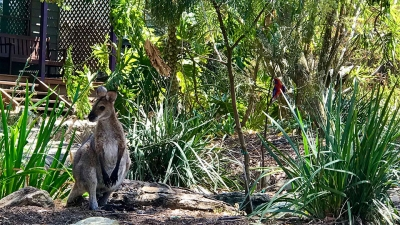 Local wallaby and rosella in garden